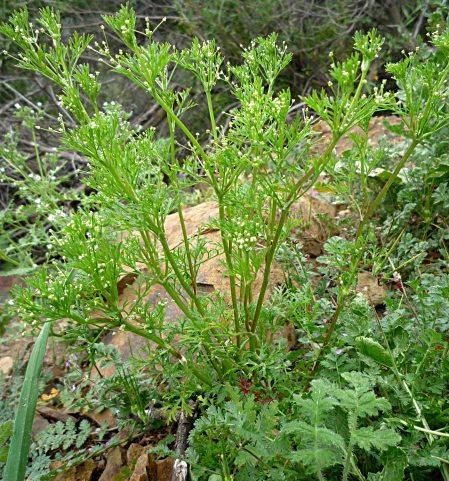 Apiastrum angustifolium plant
