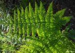 Dryopteris arguta leaf
