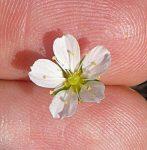 Minuartia douglasii flower