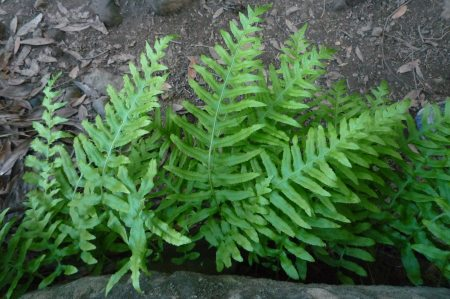 Polypodium californicum leaves