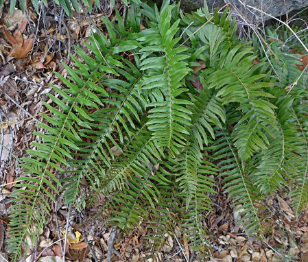 Polystichum imbricans plant