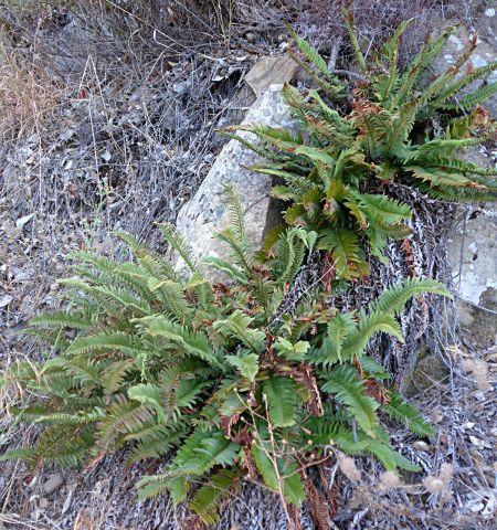 Polystichum-imbricans-plants