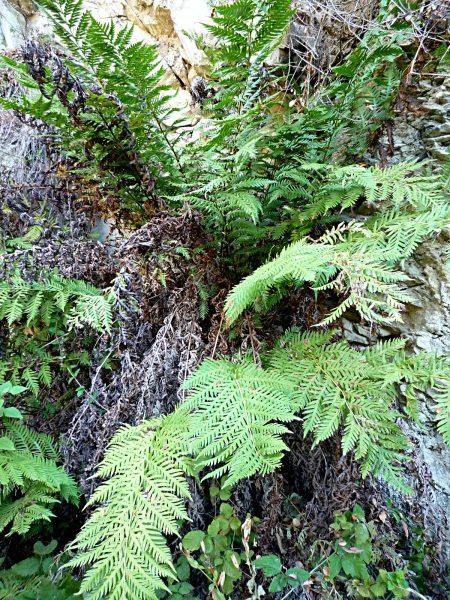 Woodwardia fimbriata plant