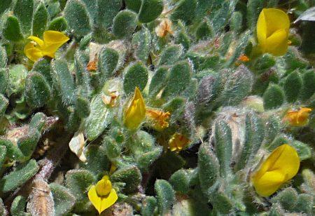 Acmispon brachycarpus flowers