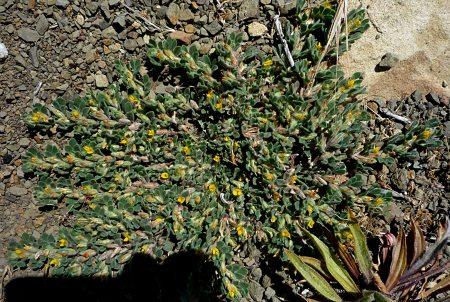 Acmispon brachycarpus plant