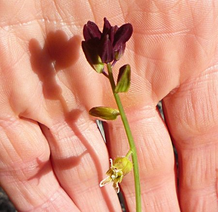 Caulanthus coulteri flowerspike