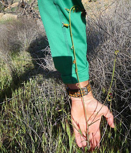 Caulanthus coulteri plant