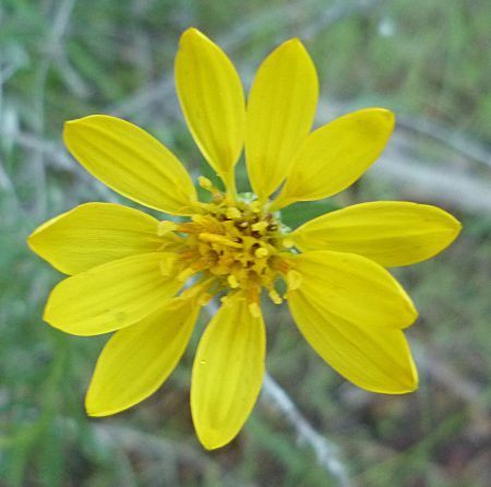 Ericameria linearifolia flower