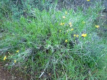 Ericameria linearifolia plant