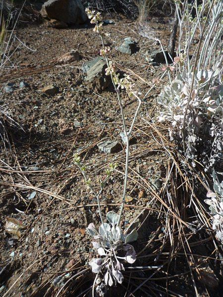 Eriogonum saxatile plant