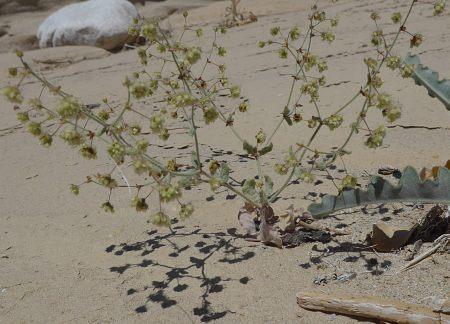 Eriogonum viridescens plant