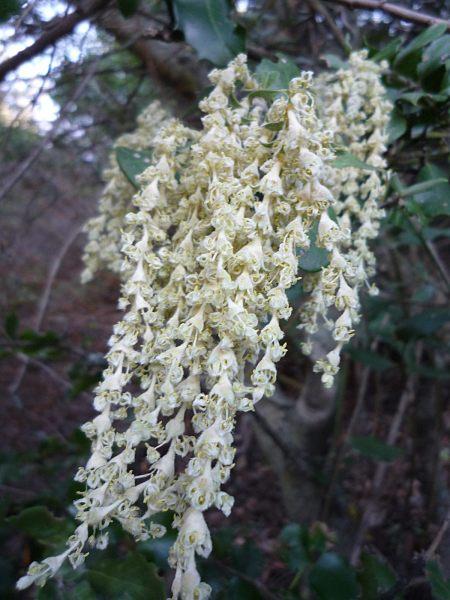 Garrya flavescense flowers