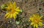 Grindelia hirsutula flowers