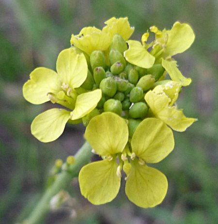 Hirschfeldia incana flowers