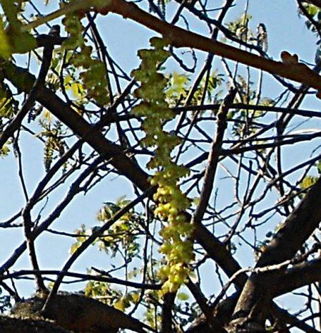 Juglans californica flower (poor)