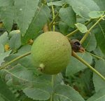 Juglans californica unripe nut