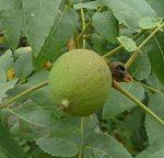 Juglans californica unripe nut