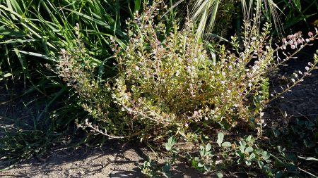 Lepidium nitidum plant