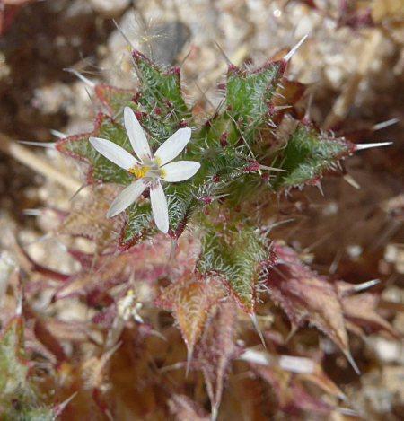 Loeseliastrum schottii flower