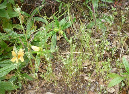 Logfia gallica plants
