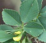 Medicago polymorpha flower