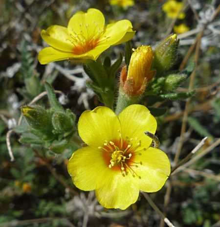 Mentzelia veatchiana flowers