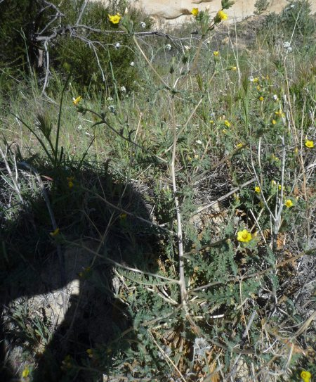 Mentzelia veatchiana plant