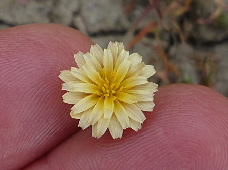 Microseris douglassii flower