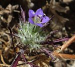 Navarretia mitracarpa flower