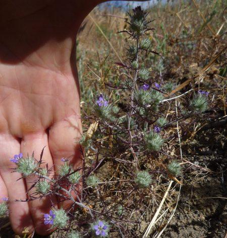 Navarretia mitracarpa plant