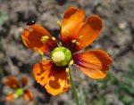 Papaver heterophyllum flower