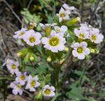 Phacelia brachyloba flowers