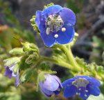 Phacelia viscida var. viscida flower