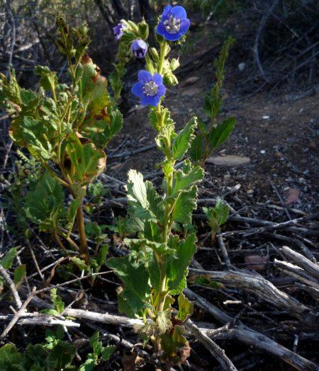 Phacelia viscida var viscida plant