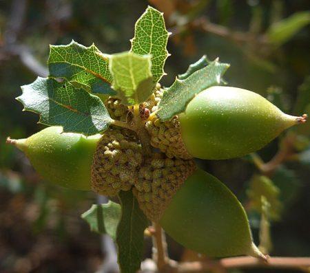 Quercus berberidifolia acorns