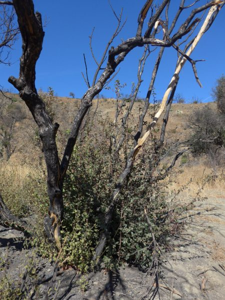 Quercus berberidifolia fire recovery