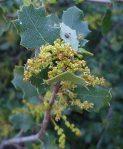 Quercus-berberidifolia-flowers