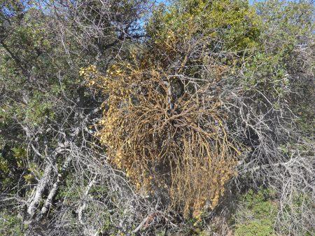 Quercus berberidifolia with mistletoe
