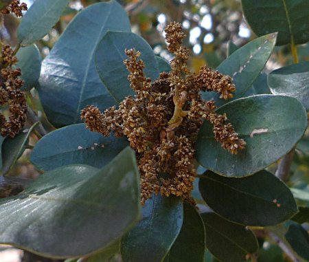 Quercus chrysolepis flowers-dry