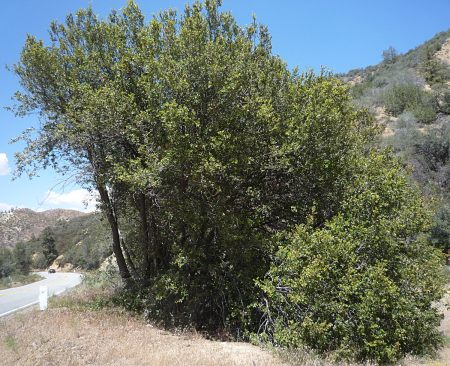 Quercus chrysolepis tree
