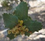 Quercus palmeri flowers dry