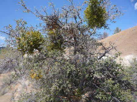 Quercus palmeri plant mistletoe