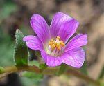 Calandarinia menziesii flower