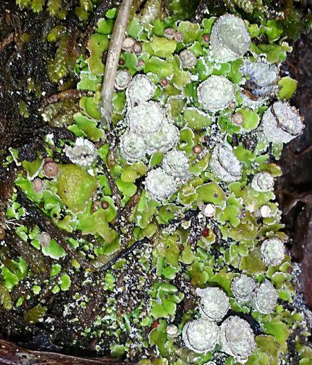 Cladonia asahinae
