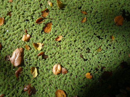 Azolla-filiculoides-lots