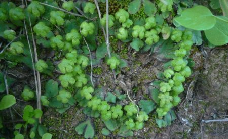 Asterella-californica-fairy-circle-2