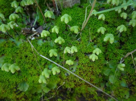 Asterella-californica-with-moss