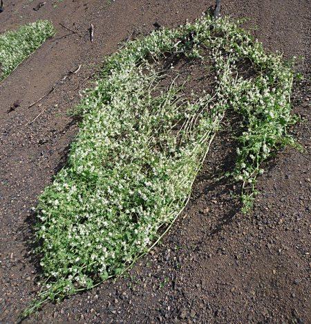 Marah-macrocarpus-0223-plant