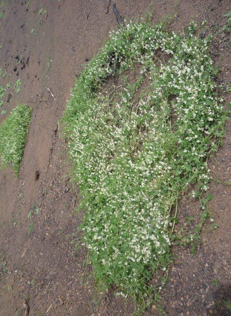 Marah-macrocarpus-0303-plant