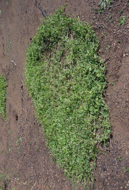 Marah-macrocarpus-0308-plant